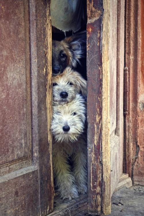 schweet: The Doors, Old Dogs, Pet, Totems Pole, Baby Animal, Peekaboo, Peek A Boo, Cute Dogs, Furry Friends