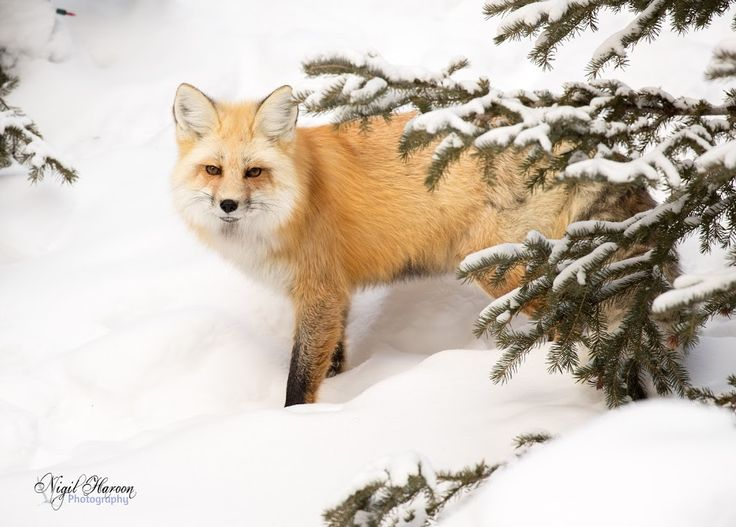 Red Fox In search of food. Winters can be tough.  #Canon #Yellowstone #Nationalpark #wildlife #wildlifephotography #photography #USA #montana #wyoming +... - Nigil Haroon - Google+