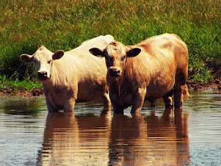 In My Wild Eden blog- Cows cooling of.