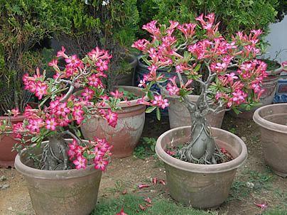 As rosas-do-deserto (Adenium spp) são plantas suculentas belíssimas, de caule escultural e floração euberante, que vem encantando jardineiros no mundo todo