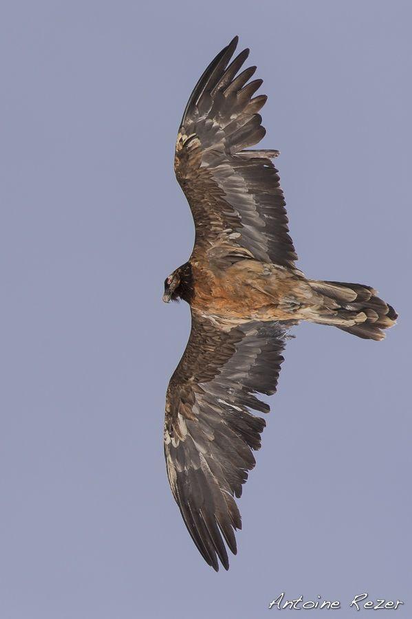Gypaète barbu - Antoine-Rezer.com | Nature & wildlife photography