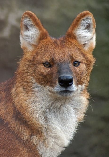 29 best Dhole Indian Wild Dog images on Pinterest Wild dogs
