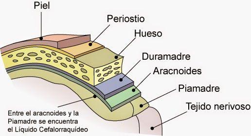 RESUMEN: Son unas cubiertas protectoras que rodean tanto el encéfalo como la médula espinal. Hay tres capas: duramadre (más externa y gruesa), aracnoides (bajo la duramadre y es más blanda) y la piamadre (se adhiere al encéfalo y la médula y es la más frágil). Algunas de sus funciones son: la protección del sistema nervioso de lesiones o daños y el paso del líquido cefalorraquídeo.
