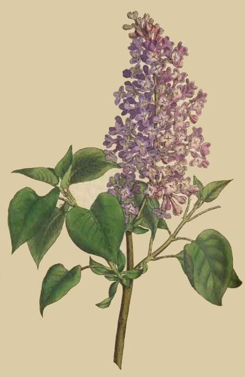 Syringia vulgarisVanlig syrinOleaceae OljetrefamilienLIGNOSE