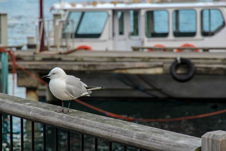 https://flic.kr/p/xVZLaA | Seagull in Queenstown, New Zealand