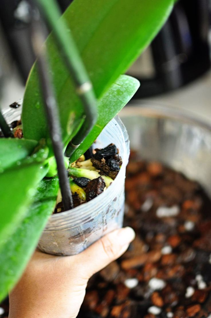 Repotting Orchids: best tutorial I've read.