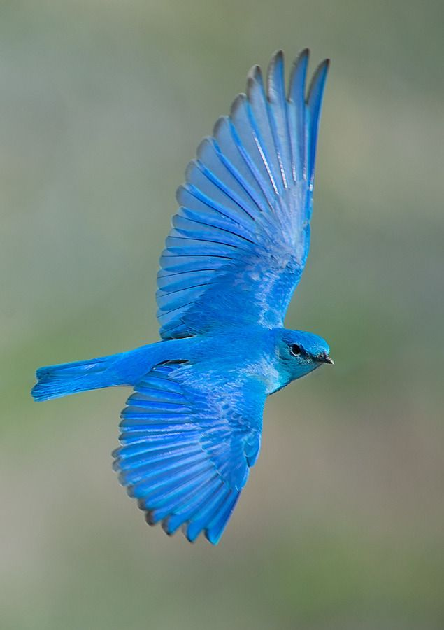 Mountain Bluebird - found in North West America-Doesn't have the orange breast, and is absolutely gorgeous!