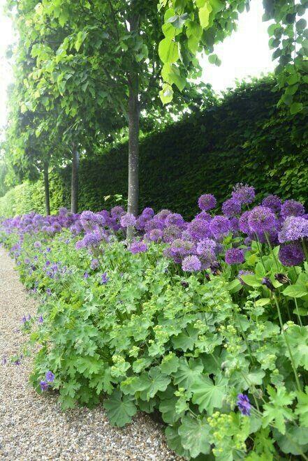 Lady's Mantle & Allium . Nice combination