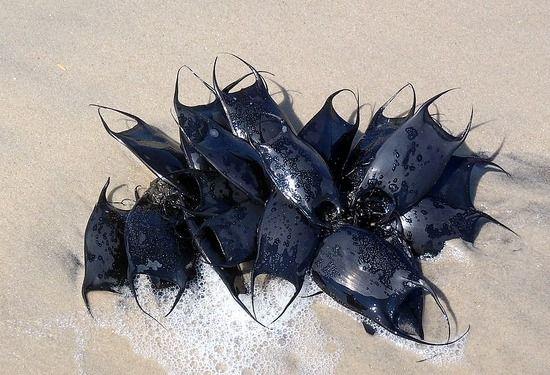 Shark egg cases AKA mermaids' purses