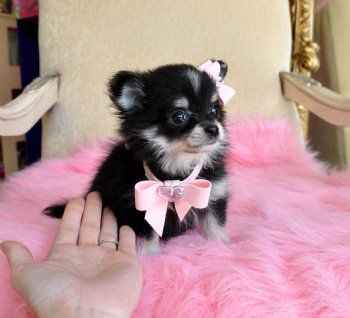 Micro Teacup Chipom PuppybrAdorable 13 oz PrincessbrShe is Out of this World Cute!!brSold Moving to Puerto Rico!