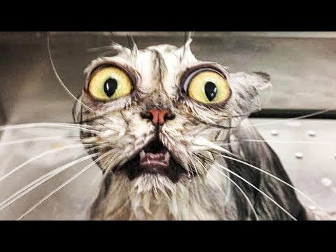 grumpy cat valentines, cat with human ears, killer cat battle cats