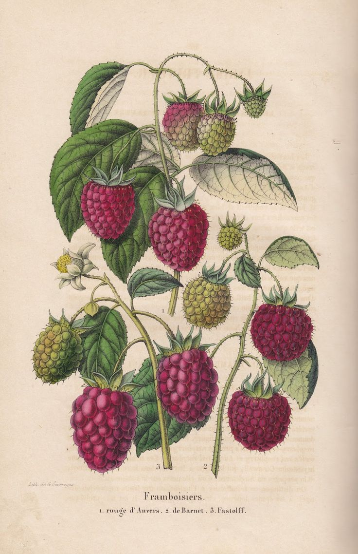 Free Vintage Botanical Printable Raspberry from old Belgian book.