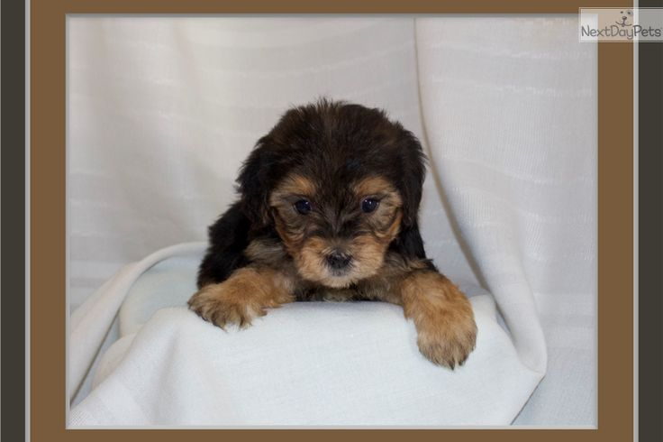yorkie rescue arkansas best 25 yorkie poo puppies ideas on pinterest york poo 5231