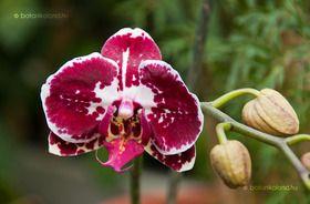 Lepkeorchidea (Phalaenopsis) gondozása, szaporítása (Pillekosbor)