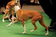 Sugar Valley Farm and Kennel – Italian Greyhound breeders, Italian Greyhounds for sale, Whippet breeders