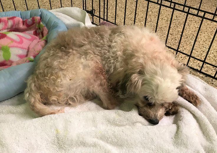 Poodle (Miniature) dog for Adoption in Tempe, AZ. ADN-718931 on PuppyFinder.com Gender: Male. Age: Senior