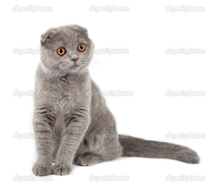 scottish fold cat scotland scottish fold pinterest cats scottish fold and scotland. Black Bedroom Furniture Sets. Home Design Ideas