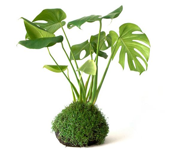 How much do you luv this japanese inspired moss ball for Indoor japanese garden plants