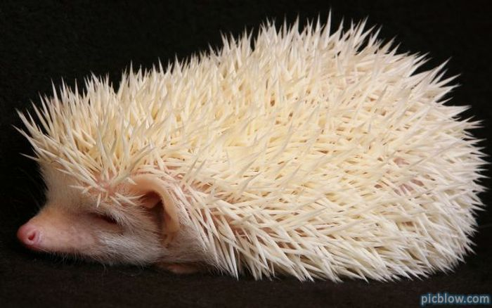 Albino Hedgehog, by Slayer http://picblow.com/pt/img/2091#none
