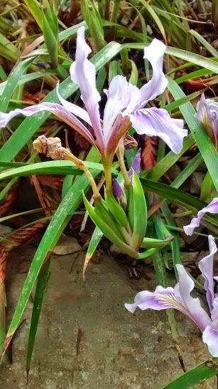 Beautiful iris flower. National Botanic Garden of Wales