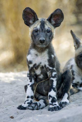 African Wild Dog (Lycaon pictus), six to eight week old pup, Okavango Delta, Botswana by Suzi Esztherhas