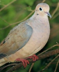 Mourning Dove Nest structure Plan and Information