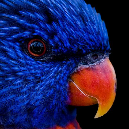 ~~ Got the blues... ~~  rainbow lorikeet