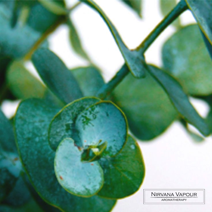 Eucalyptus: The base ingredient in our Eucalyptus products for the home! #eucalyptus #aromatherapy #fragrance