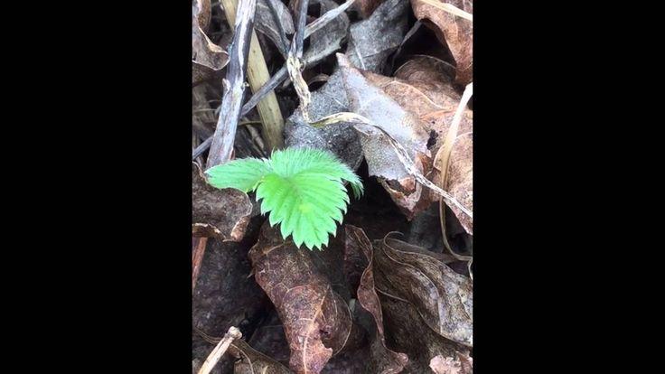 Vem gömmer sig under löven? Lyft på några gamla, torra löv nu på våren! Vad hittar du? NATURSPANARNA www.naturspanarna.se