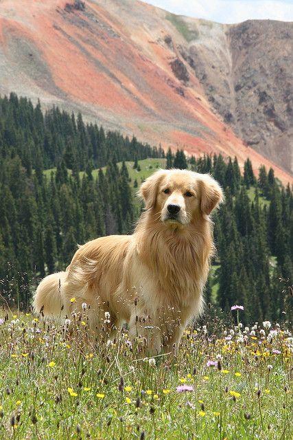 Hermosa foto de un Golden Retriver ...