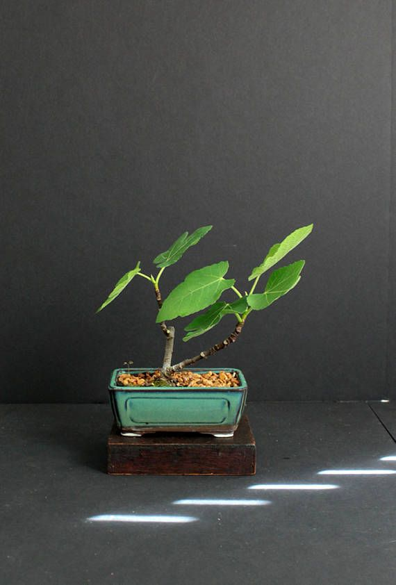 Turkey Fig pre-bonsai tree Summer'17 Mame
