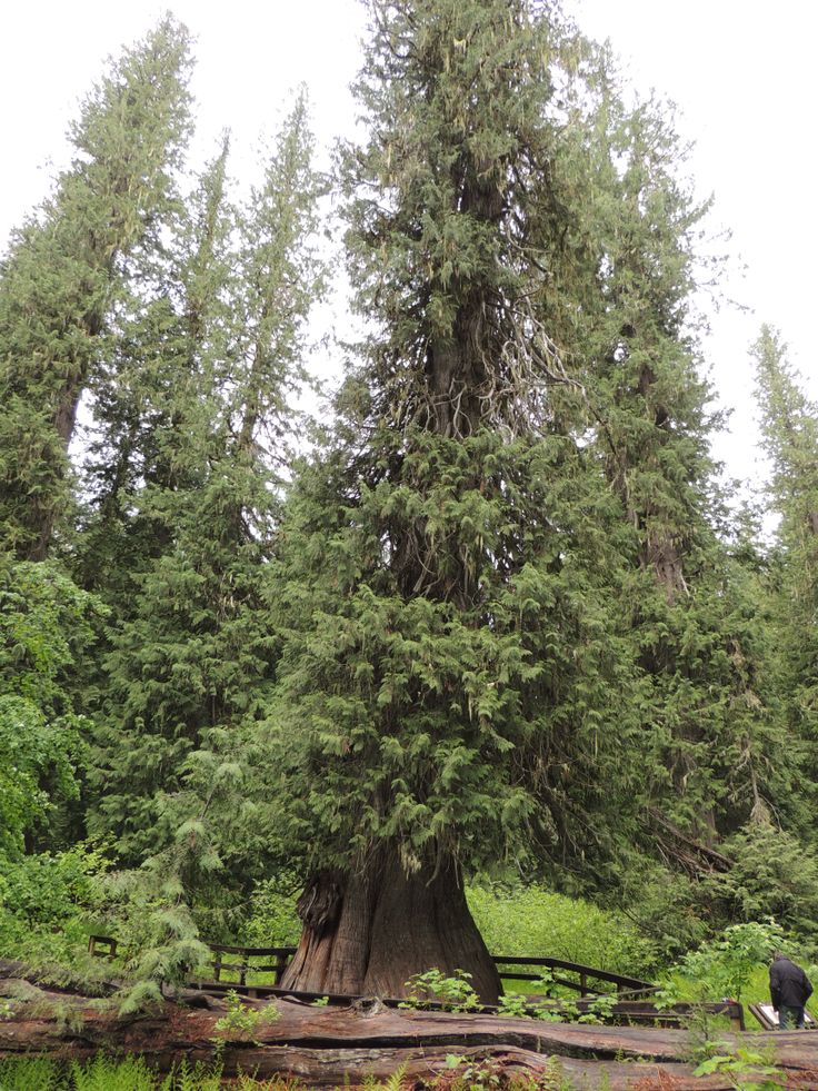 Western Red Cedar Tree ~ Giant western red cedar tree about years old