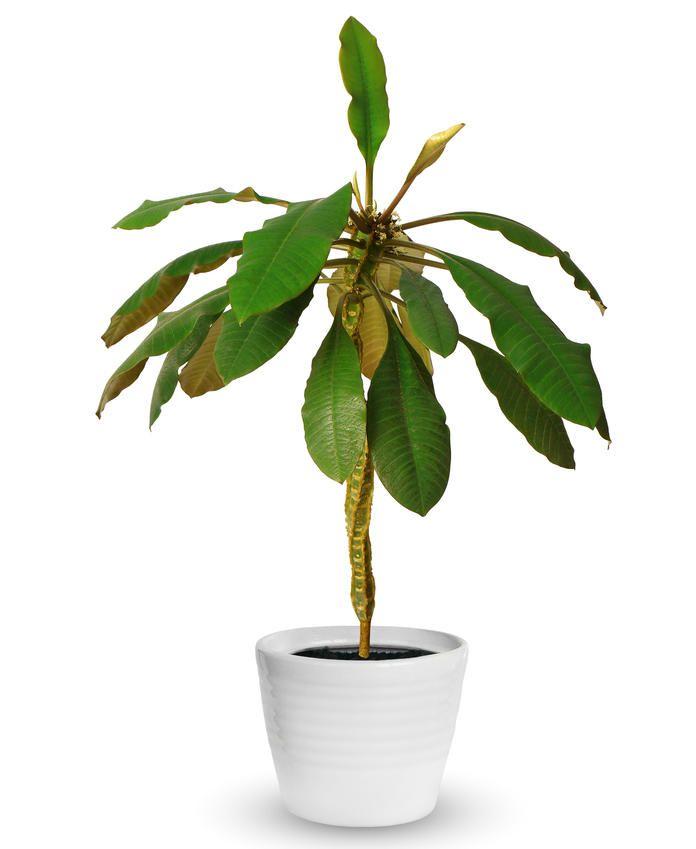 Spuckpalme garten pflanzen garten pflanzen und blumen for Garten pflanzen blumen