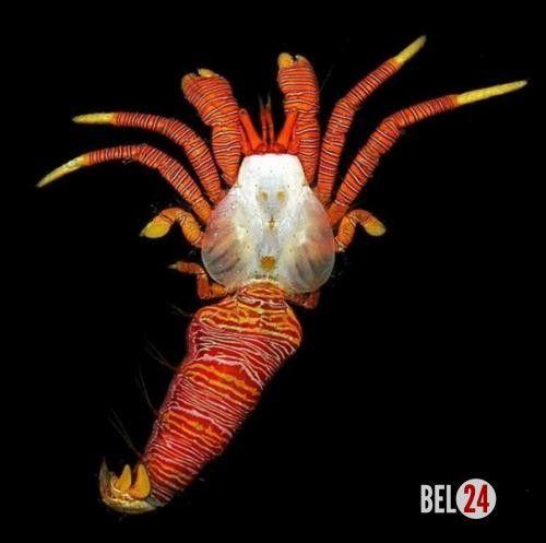 Красноногий рак - отшельник (лат.. Ciliopagurus Strigatus, обитающий в прибрежных водах недалеко от гавайских островов и в красном море, по праву считается одним из самых ярко - раскрашенных раков - отшельников, живущих в мировом океане.                                                               (adsbygo
