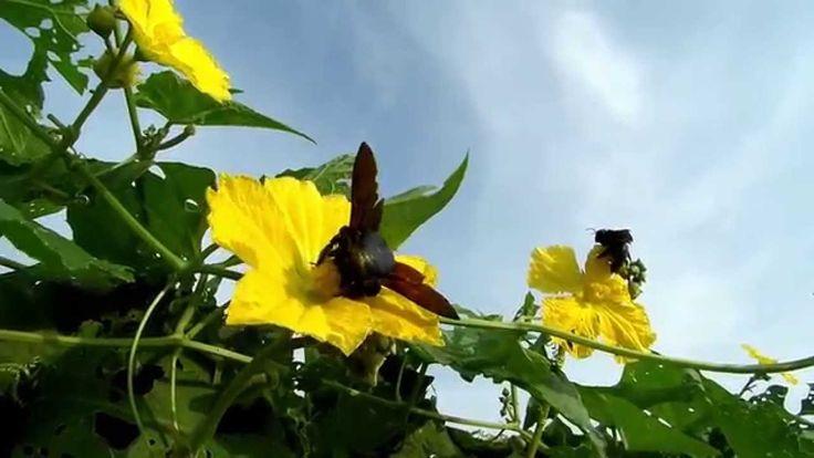 Kumbang Hitam Pemburu Serbuk Sari