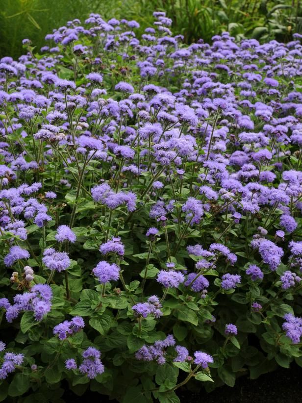 Ageratum The Easiest Annuals To Plant For Color All Summer Long Diy Annual Plants Plants Container Gardening