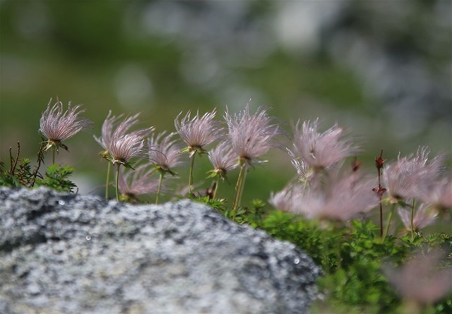 Chinguruma, out of bloom 夏の剣岳