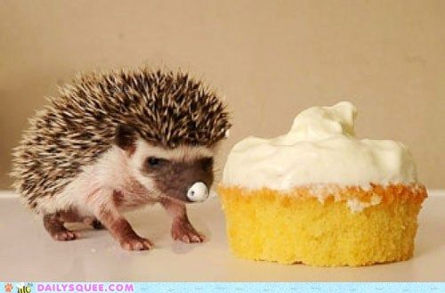 Baby hedgehog isn't quite sure what to make of the cream covered cupcake that's almost as big as he is! LOL!