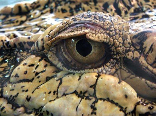 Saltwater Crocodile Eye