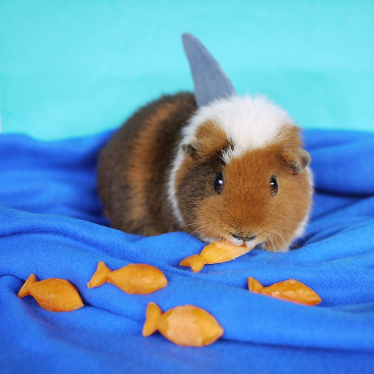 Guinea pig dresses up in the cutest costumes (PHOTOS): Fuzzberta