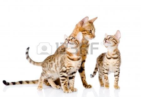 gattini Bengala e madre gatto isolato su sfondo bianco Archivio Fotografico - 22883024