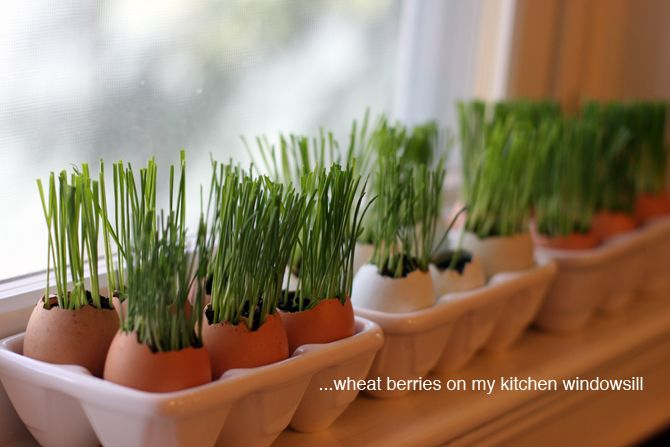 how to plant wheat berries