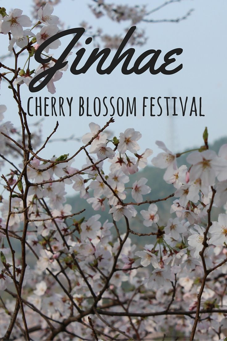 Jinhae Cherry Blossom Festival is without a doubt the most beautiful place to see the cherry blossoms in Korea!