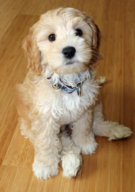 Otis the Labradoodle Pictures - Daily Puppy!