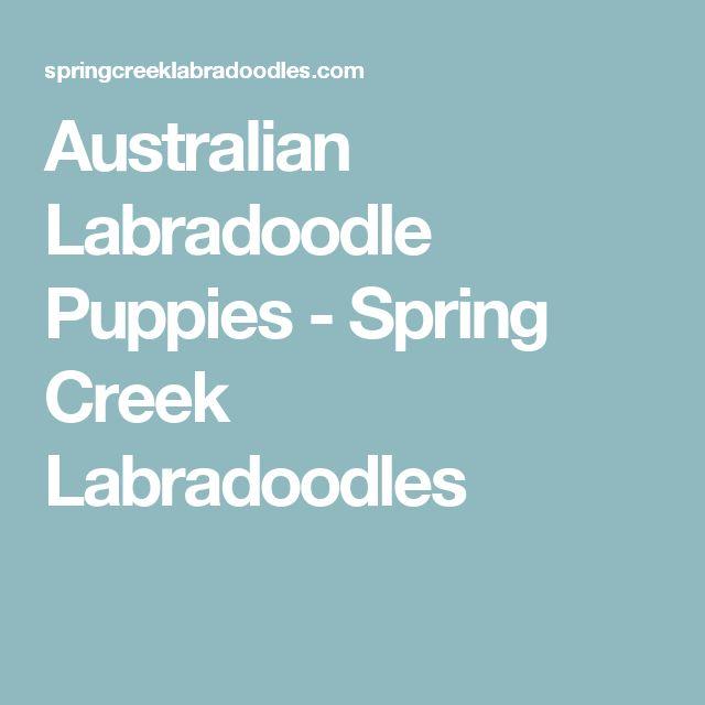 Australian Labradoodle Puppies - Spring Creek Labradoodles