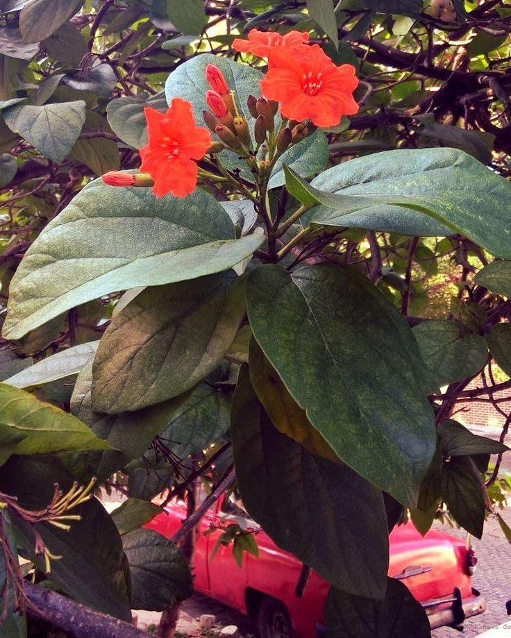 Tropische Blumenpracht - und ihm Hintergrund ein pinker Oldtimer ;)