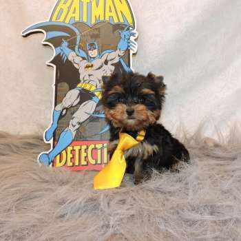 Miniature Yorkie For Sale-3
