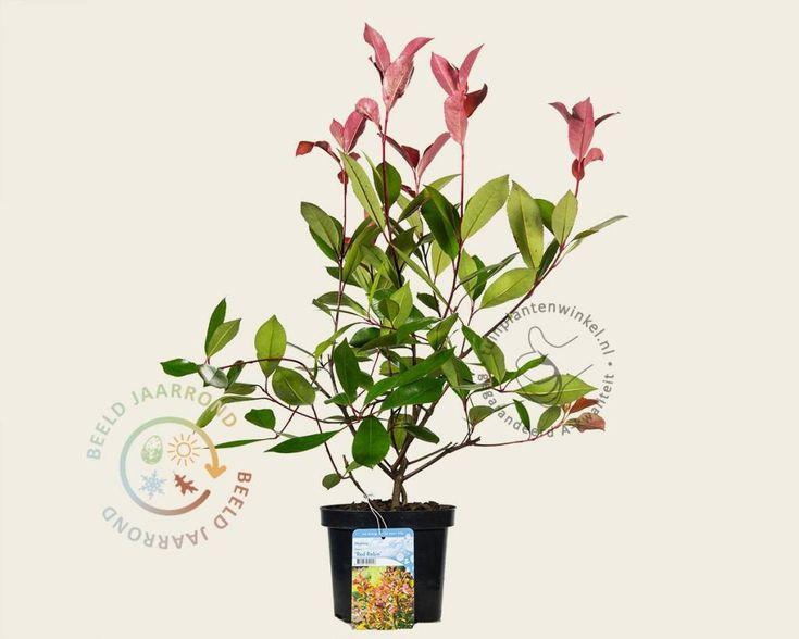 Parrotia persica maladie tuinplant