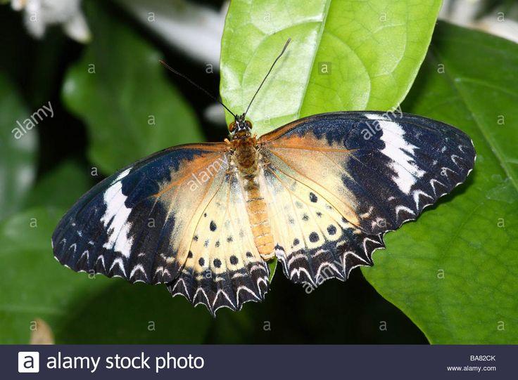 Butterfly Leoparden-Netzflügler Cethosia cyane brown Farbmorphe page brown farbmorphe cethosia cyane butterflies Stock Photo