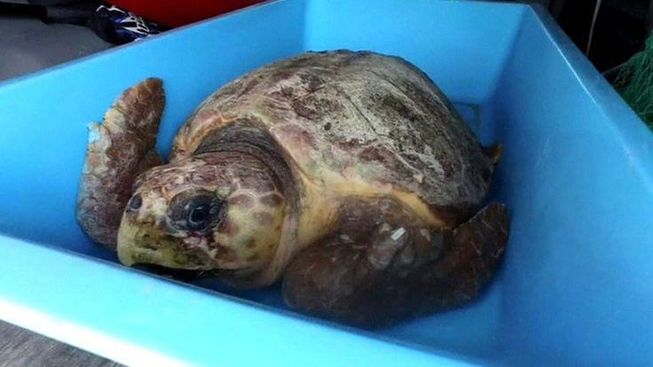 Endangered turtle set free in Florida - BBC News http://www.bbc.co.uk/news/av/world-us-canada-40037471/endangered-turtle-set-free-in-florida?utm_campaign=crowdfire&utm_content=crowdfire&utm_medium=social&utm_source=pinterest